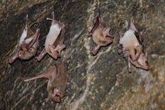 Bat is mammal and call Stock Photos