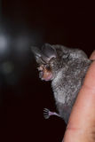 Bat is mammal and call Royalty Free Stock Photography