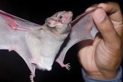 Bat is mammal and call Stock Images