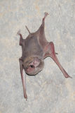 Bat is mammal and call Royalty Free Stock Photos