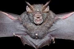 Bat is mammal and call Royalty Free Stock Image