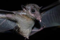 Bat is mammal and call Stock Image
