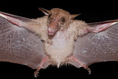 Bat is mammal and call Stock Photography