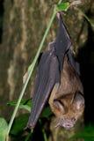 Bat is mammal and call Royalty Free Stock Photo