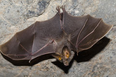 Bat is mammal and call. Lesser false vampire bat are sleeping in the cave hanging on the ceiling period midday Royalty Free Stock Image