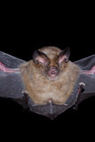 Bat is mammal in the night Royalty Free Stock Photo