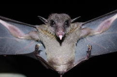 Bat is mammal in the night. Common dawn-bat  are sleeping in the cave hanging on the ceiling period midday Royalty Free Stock Image