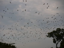 Bat migration. Largest mammal migration in the world. Straw coloured fruit bats (Eidolon helvum) in Kasanka National Park in Zambia Royalty Free Stock Image