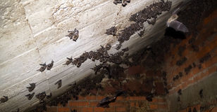Bat nest. Nest of a small specie of bats under a construction in mexico, many small rodents resting under a roof in a national park in mexico Stock Image