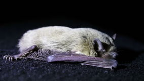 Bat night lying on the ground stock footage