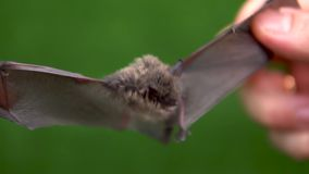 A bat with open wings in the hands of a man