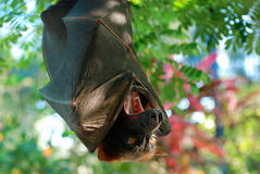 Bat opened her mouth Royalty Free Stock Photography