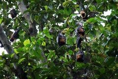'bat' pendant de l'arbre Photo libre de droits