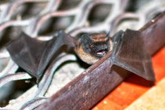 The bat Royalty Free Stock Photos