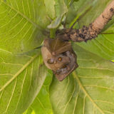 Bat (Pteropus conspicillatus) in a tropical tree (Terminalia catappa) Stock Photo