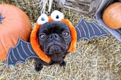 Bat Pug Stock Images