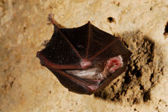 Bat Quiroptera order in a cave near Rochebiliere, France Royalty Free Stock Image
