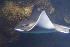 Bat Ray. The bat ray, Myliobatis californica  is a genus of eagle rays in the family Myliobatidae Royalty Free Stock Photography