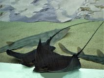Bat rays resting and wanting to be pet Stock Photography