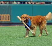 Bat retrieving dog at a baseball game Stock Photography