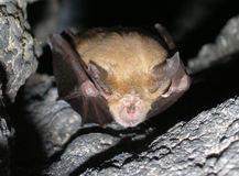 Bat Rhinolophus ferrumequinum Royalty Free Stock Image