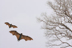 Bat silhouettes with colorful lighting - Halloween festival Stock Images