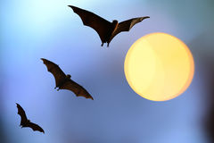 Bat silhouettes with full moon - Halloween festival Royalty Free Stock Images