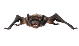 Bat sits Royalty Free Stock Images