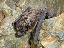 Bat sits on the stones Stock Photo
