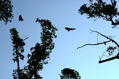 The bat. Bat on the sky in the fores, thailand Stock Photo