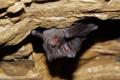 Bat. Sleeping bat in a cave in the Czech Karst Stock Photography
