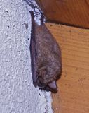 Bat sleeping Royalty Free Stock Photography