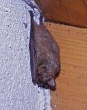 Bat sleeping royalty free stock photography