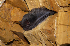Bat. Sleeping little bat  in cave the Czech Karst Royalty Free Stock Images