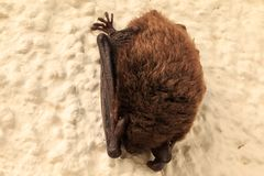 Sleeping bat on the house wall