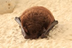Sleeping bat on the house wall royalty free stock photo