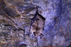 The bat. Somewhere in the abandoned gold mine Stock Photos