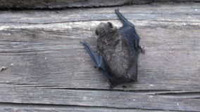 Bat species (Eptesicus nilssonii) on old house wooden wall stock video footage