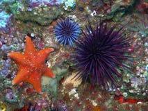 Bat Star with Purple Sea Urchins. Orange Bat Star with Purple Sea Urchins found off of central California's Channel Islands Stock Photos