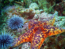 Bat Star and Purple Sea Urchins. Orange and red Bat Star surrounded by Purple Sea Urchins found off of central California's Channel Islands stock photography