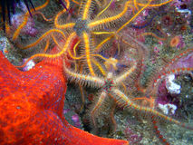 Bat Star surrounded by Spiny Brittle Stars. Orange Bat Star surrounded by colorful Spiny Brittle Stars found off of central California's Channel Islands royalty free stock images