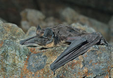 Bat on stone 2 Stock Photography