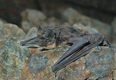 Bat on stone 2 Stock Photography