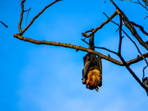 Bat in the sun Royalty Free Stock Image