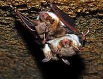 Bat Royalty Free Stock Photography