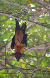 Bat in a tree Royalty Free Stock Images