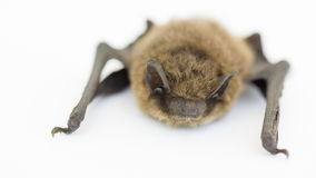 Bat on white Royalty Free Stock Image