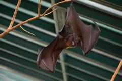 Bat in zoo royalty free stock photo