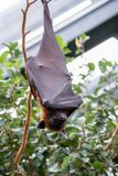 Bat in zoo royalty free stock photography