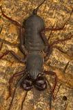 Bata ogoniasty skorpion Visakhapatnam, Andhra Pradesh, India zdjęcia royalty free